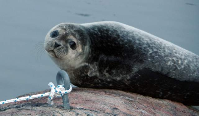 Seal on rock