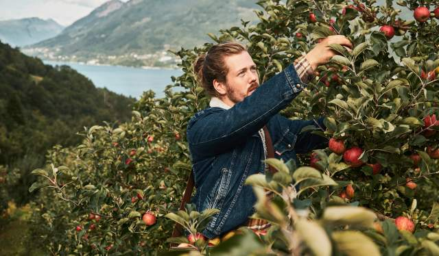 A man picking apples in an orchard near the Hardangerfjord, Fjord Norway