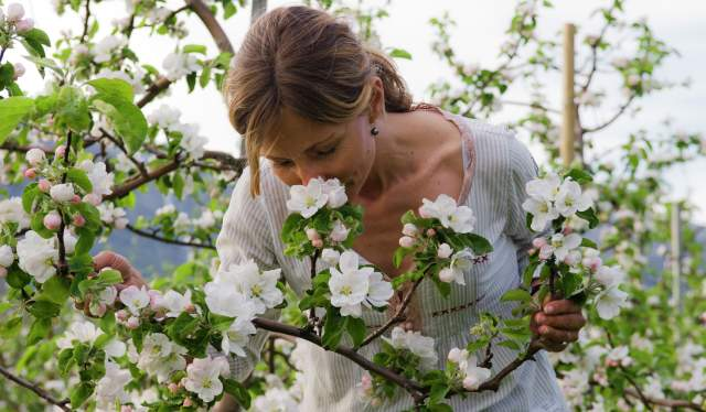 A woman smelling apple blossoms in Hardanger, Norway in the spring