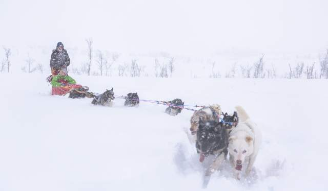 Two persons trying dog sledging in a thick flurry of snow in Northern Norway