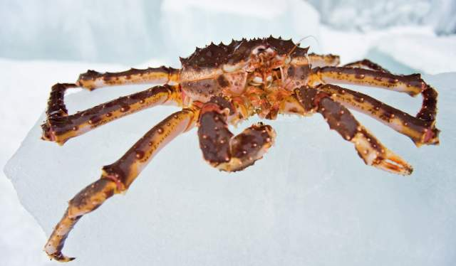 Close shot of a king crab in Kirkenes, Northern Norway