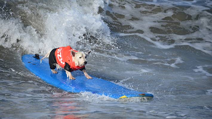 Every Year Salty Dogs Join The Ocean Action In Surf City Dog Scsd At Huntington Beach