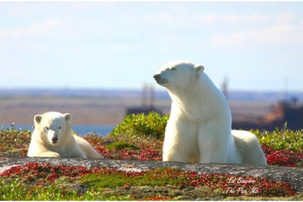Mother polar bear and cub on the tundra near Churchill