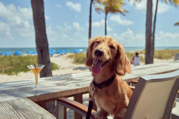 Dachshund in a chair at a beach bar for yappy hour