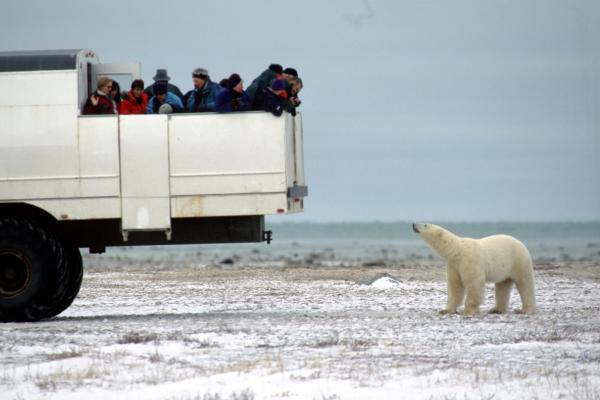 Polar bear on the tundra watching tourists in a tundra vehicle in Churchill