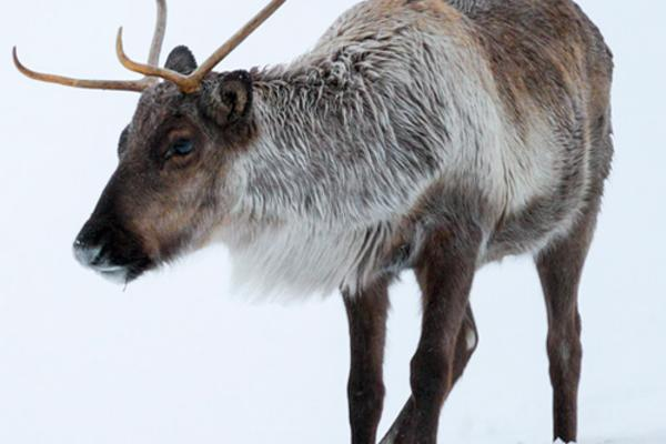 Caribou in the snow