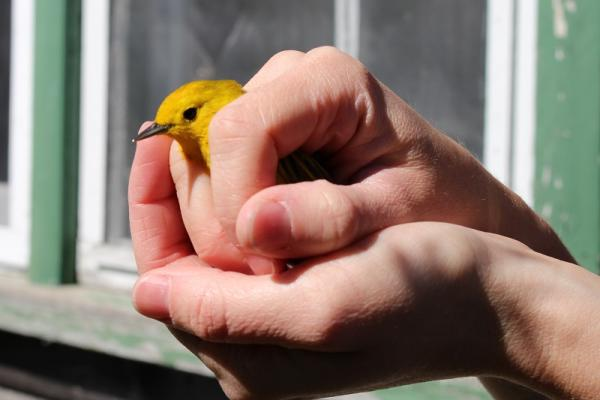 a bird being held after being tagged, ready to be released at Oak Hammock Marsh
