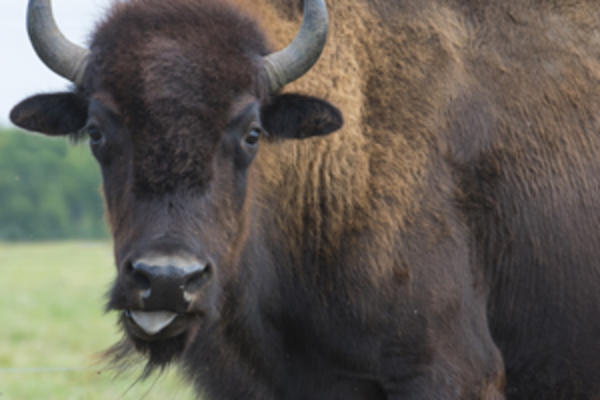 A Prairie Legacy: The Bison and Its People