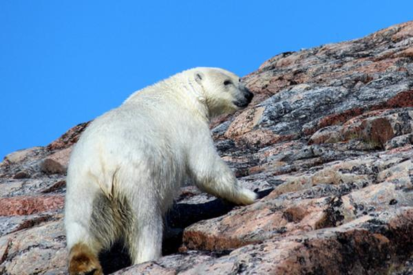 polar bear on the rocky shore, Great Canadian Travel