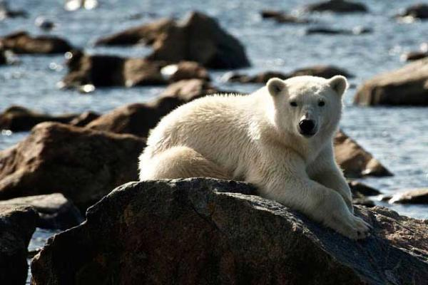Polar bear cub sunning on the rocky shore, Lazy Bear
