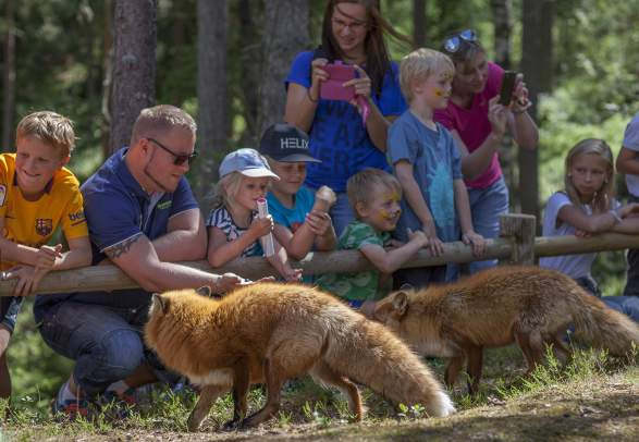A group of people watching two foxes in the Bear park (Bjørneparken) in Flå in Hallingdal, Eastern Norway