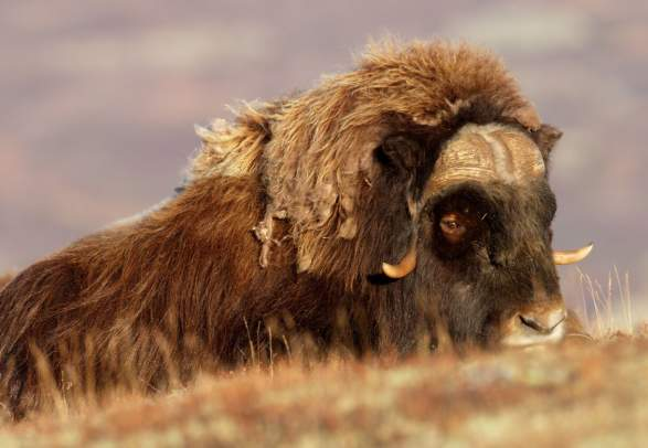 A musk ox coming up a hill during summer in Dovrefjell, Eastern Norway