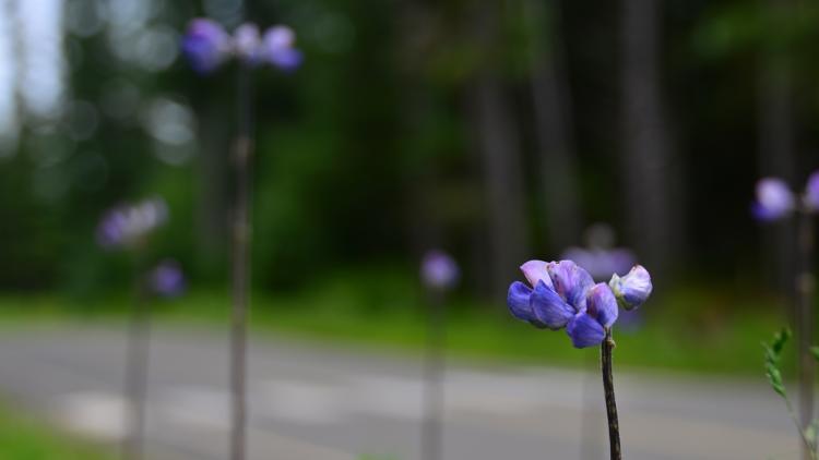 Glacier Bay Flowers