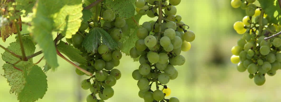 Carpenter-Creek-Cellars-grape-vine