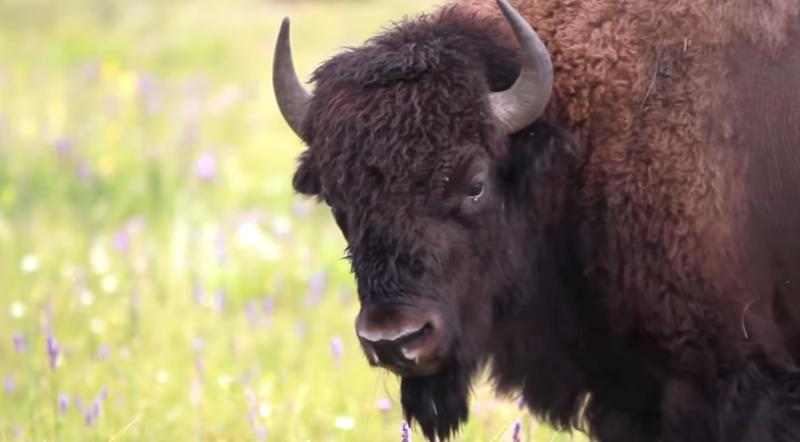 Bison. Surprising Discoveries of Manitoba