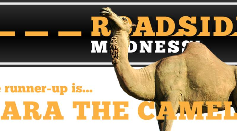 Sara the Camel comes in second in Roadside Madness!