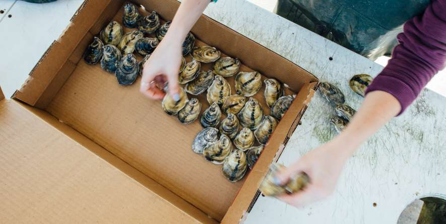 Packaging Oysters