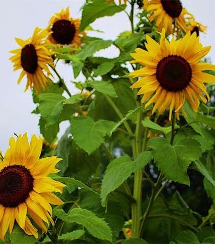 Maine Sunflowers