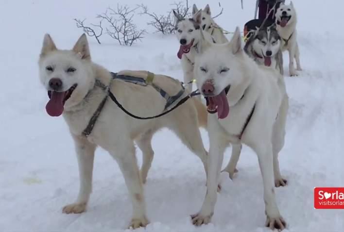 Sirdal Huskyfarm - hundekjøring i Norge