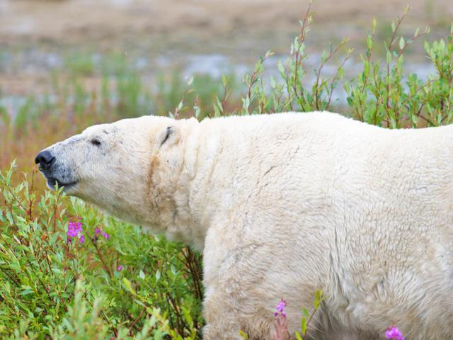 Polar Bear in the Fireweed