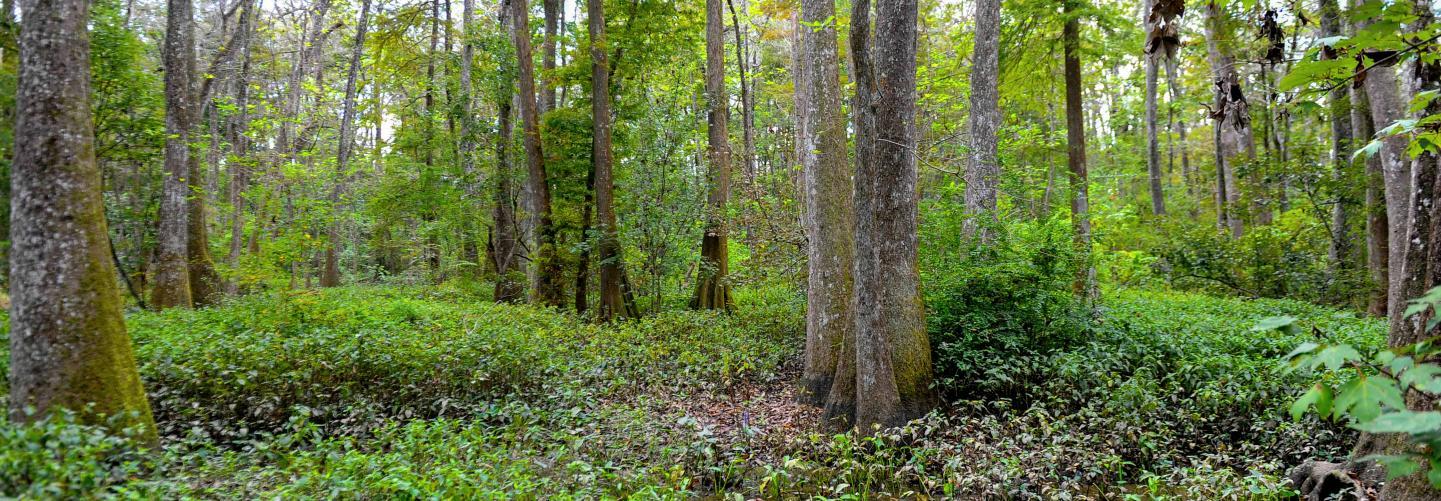 Image of lush green swamp landscape