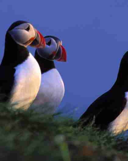 Birdwatching: Three Puffins at The North Cape, Northern Norway