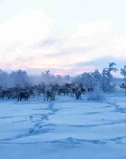 Reindeer in Finnmark