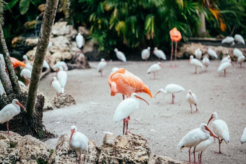 Flamingos on the sand in the Flamingo Gardens in Davie, Florida
