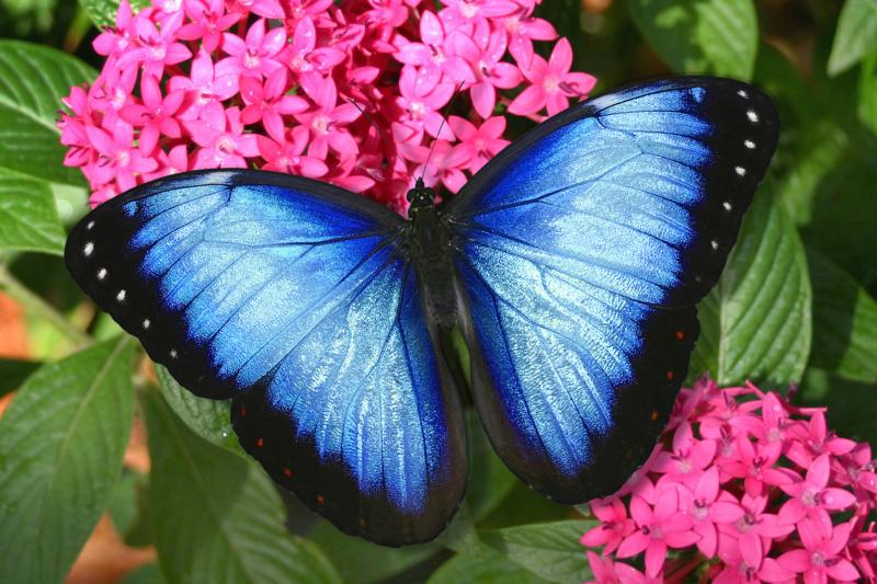 Close up of a blue butterfly at Butterfly World in Coconut Creek, Florida