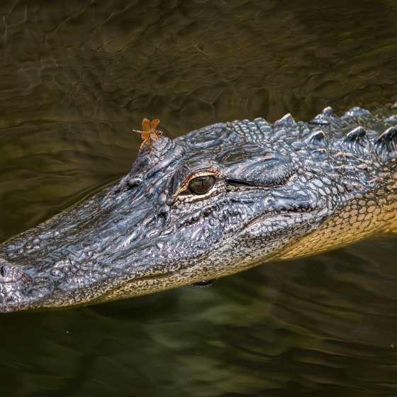 Jean Lafitte Swamp Tour