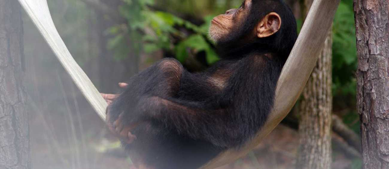 A photo of a chimpanzee