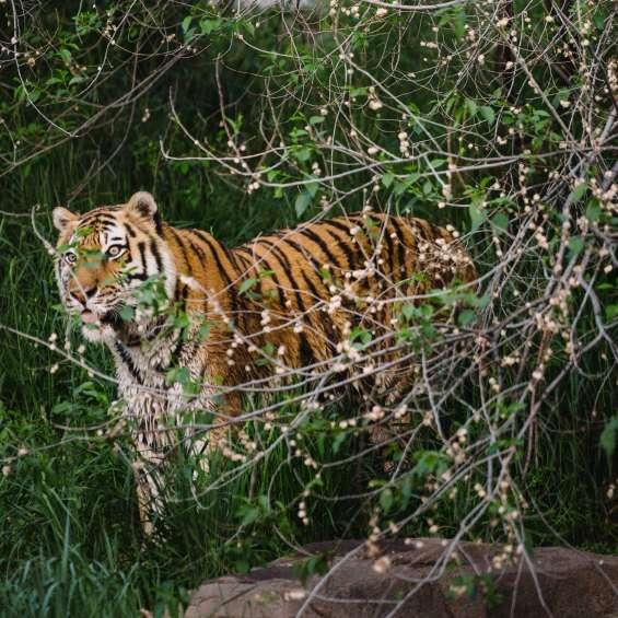 Tiger at Utah's Hogle Zoo Brew