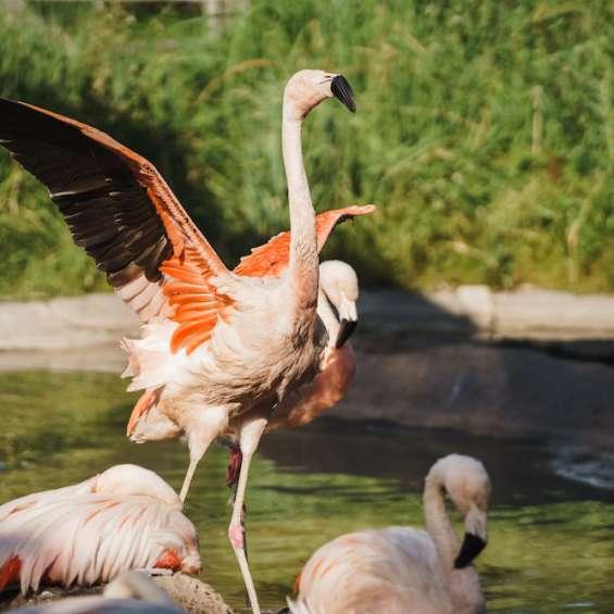 Flamingos at Tracy Aviary