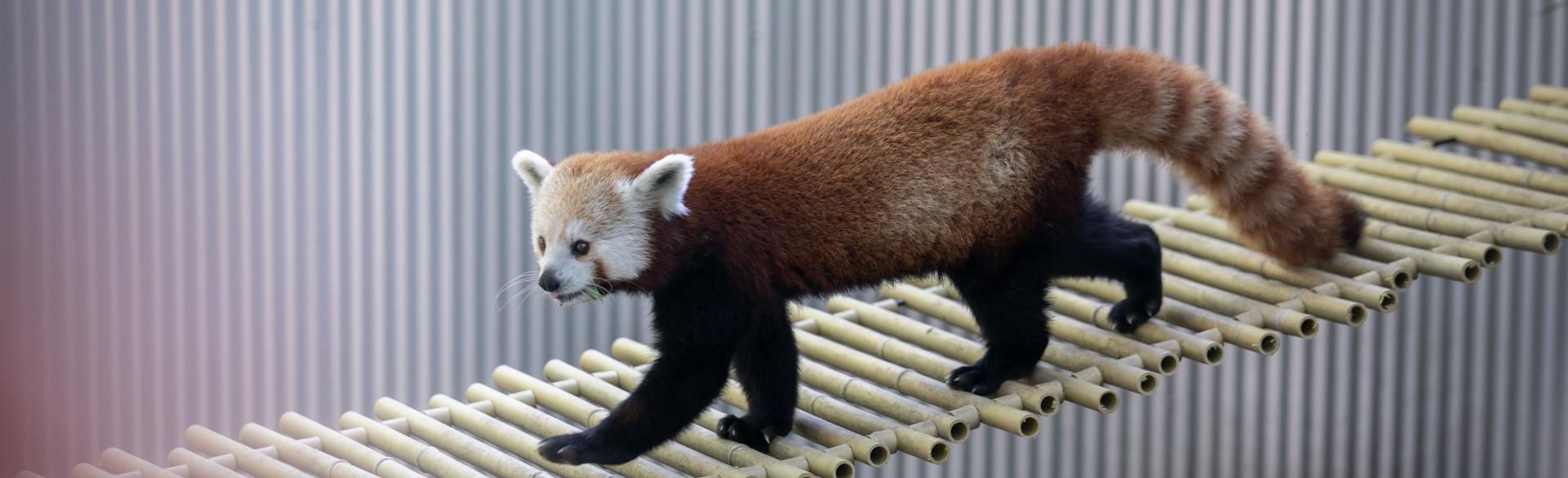 Red Panda exhibit at John Ball Zoo.