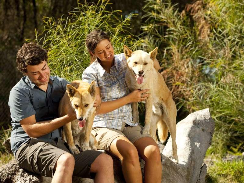 People holding an Australian Dingo, Melbourne Wildlife