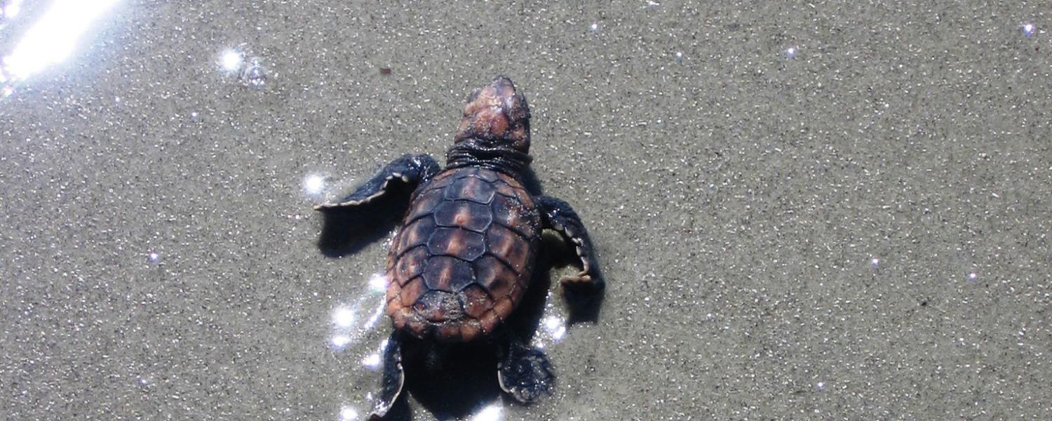 A loggerhead sea turtle hatchling makes its way to the Atlantic Ocean in Golden Isles, Georgia