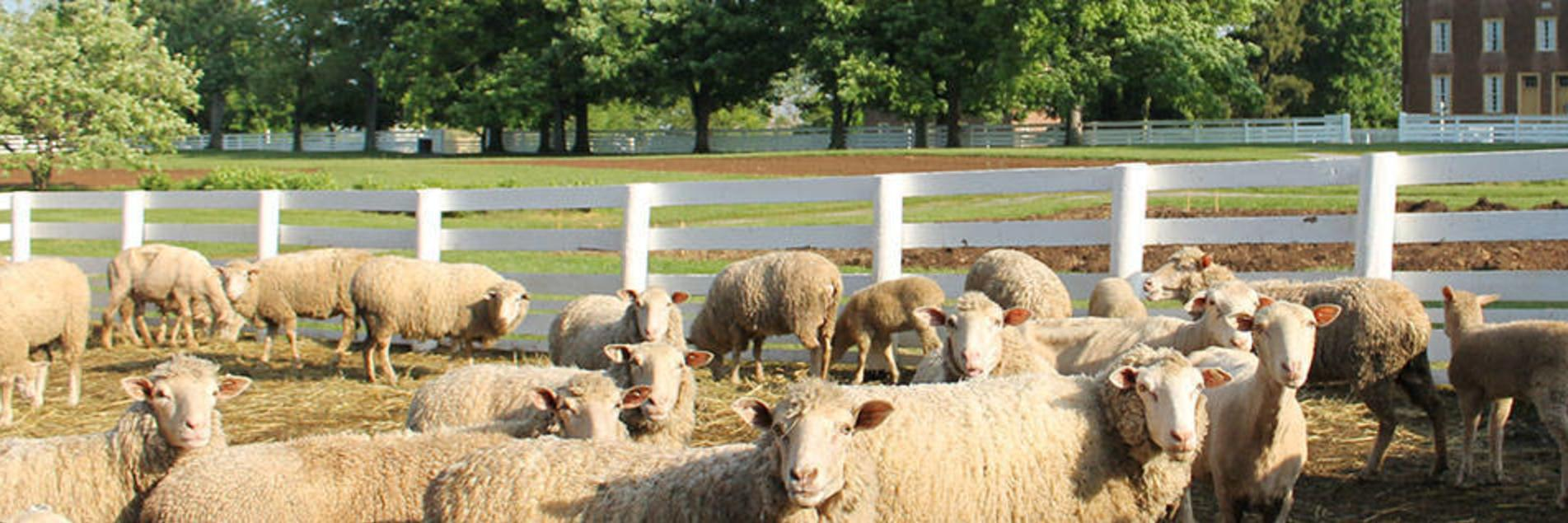 Sheep at Shaker Village