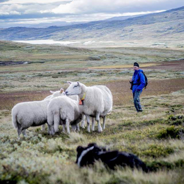 A man and a few sheep in a meadow in the mountains of Skarvheimen, Eastern Norway