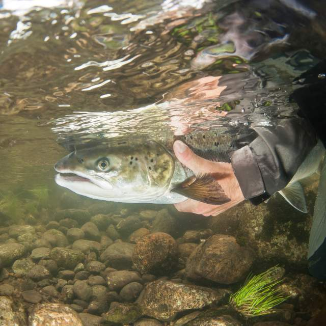 A person holding a salmon underwater in the Bolstadelva river in Voss, Fjord Norway