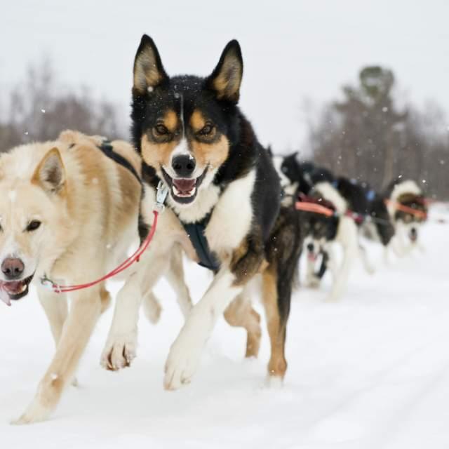 Dog sledging, Alta