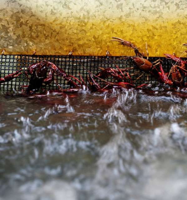 Crawfish Purging Up Close