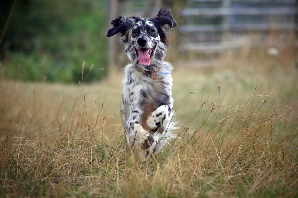 English_Setter_running_through_grass