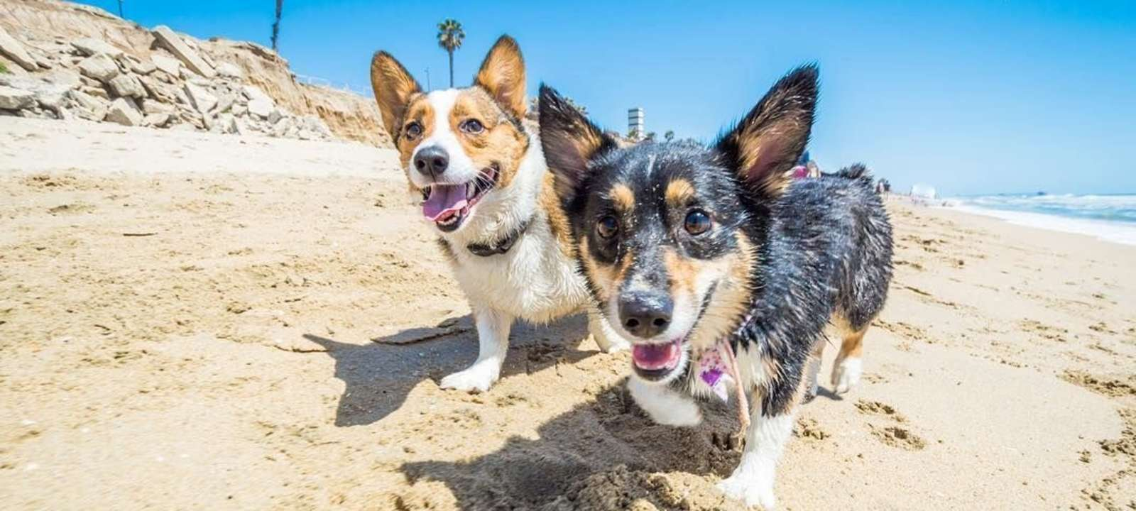 corgi beach day in huntington beach socal corgi party