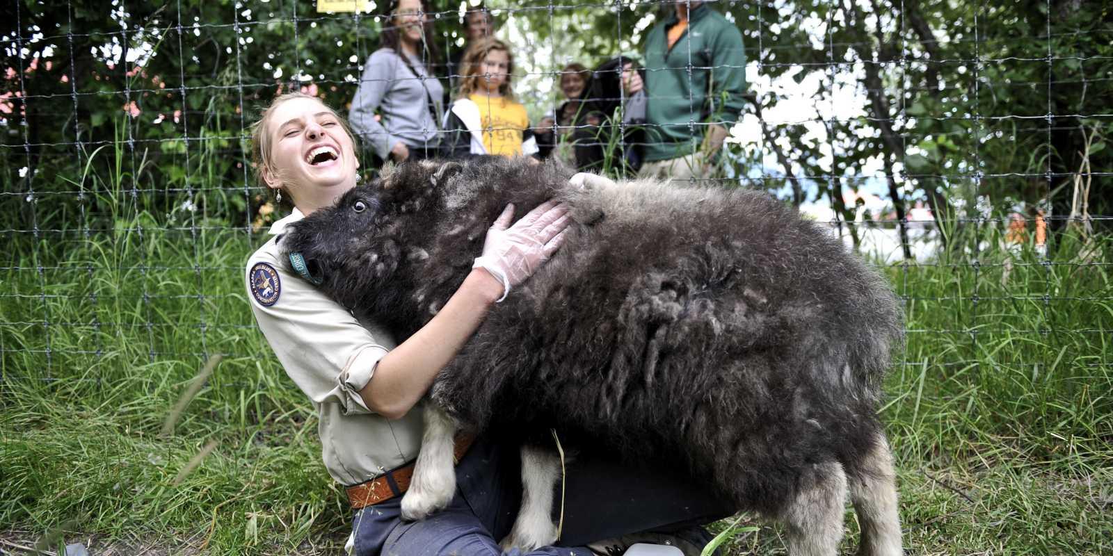 Alaska Wildlife Conservation Center musk ox wildlife viewing