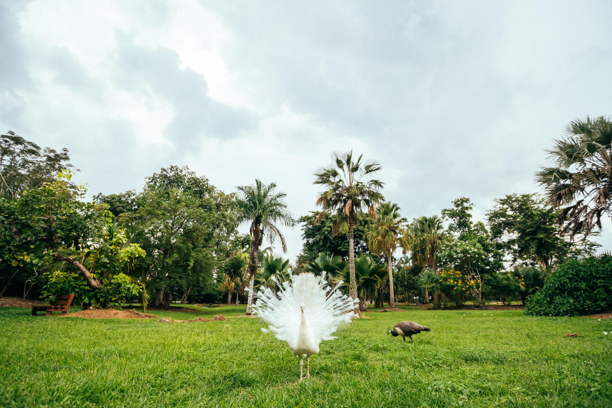 Flamingo Gardens White Peacock