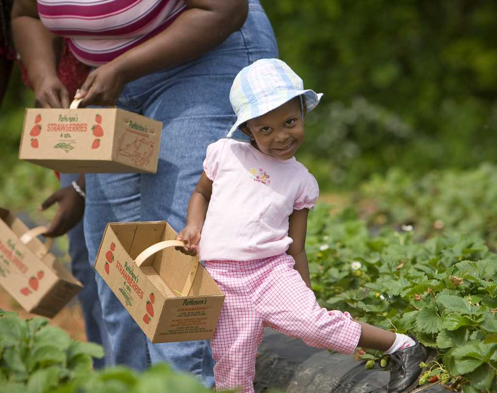 Little girl picking strawberries at Patterson Farms