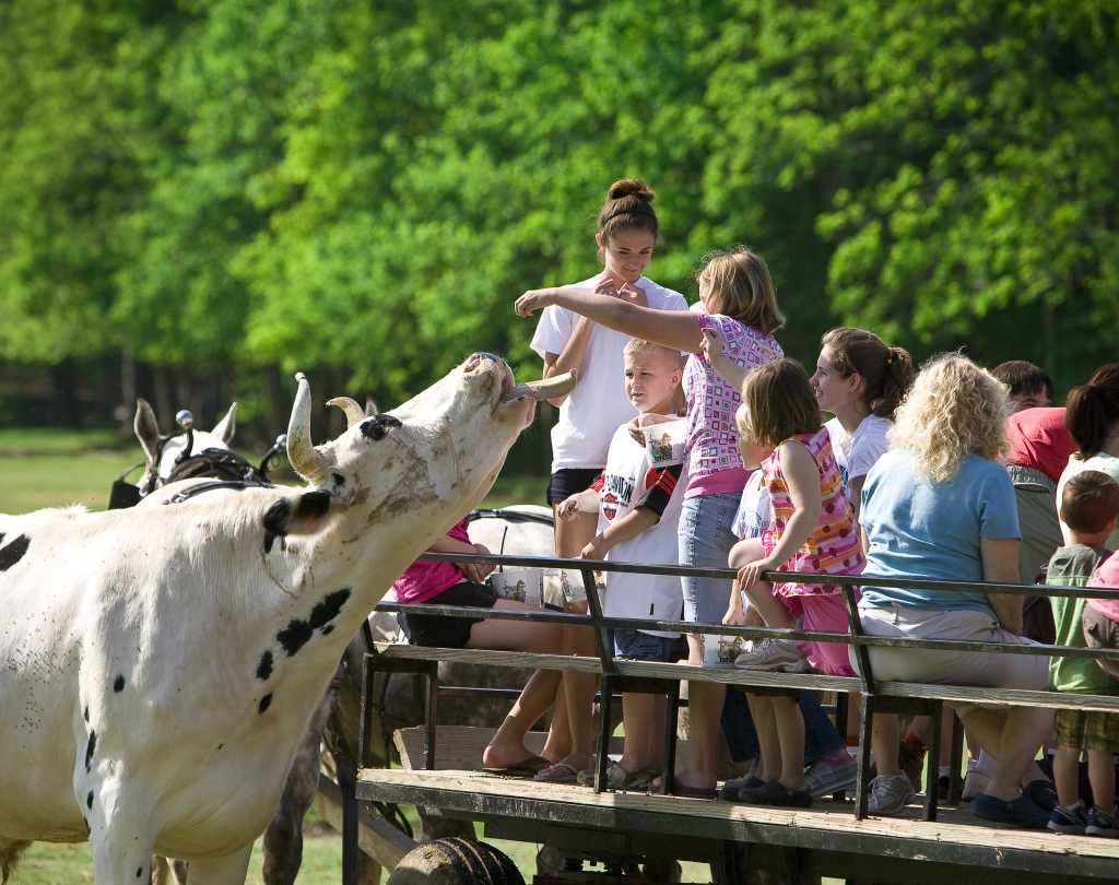 Interacting with Cows on a Wagon Ride