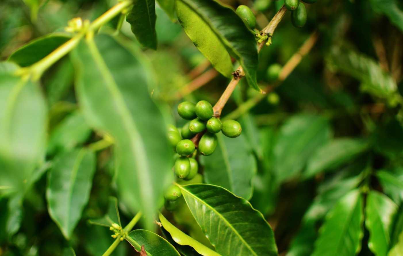 Blue Mountain Coffee JMIJ