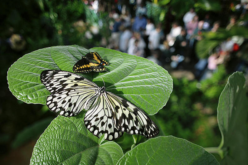 Frederik Meijer Gardens & Sculpture Park's Butterflies are Blooming is a beloved annual exhibition.