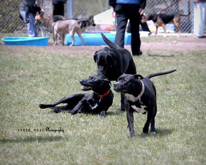 Three Black Dogs Playing